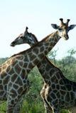 etosha长颈鹿纳米比亚np 免版税库存图片