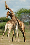 etosha żyraf Namibii zwalczać park narodowy Obraz Royalty Free