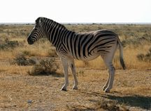 etosha (1) zebra Fotografia Stock