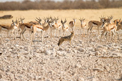 Etosha Royalty Free Stock Photography
