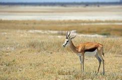 站立在Etosha平底锅边缘的一只孤立飞羚 图库摄影