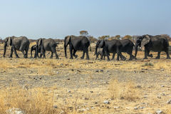 Etosha African elephants. Wild African elephants herd walking in savannah of Etosha National Park, dry season in Namibia, Africa Stock Photos