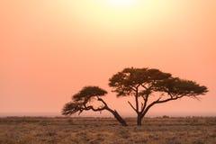 Etosha-Akazien-Baum-Sonnenaufgang stockfotografie