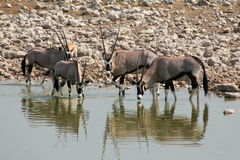Etosha Eland Stock Photo