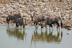 Etosha-Elenantilope Stockfoto