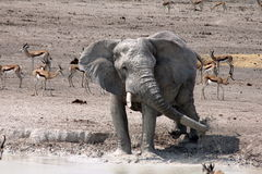 Etosha Elephant Splashing Royalty Free Stock Images