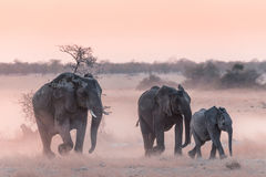Etosha Elephants. Elephants make their way from a waterhole during sunset stock photography