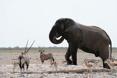 Etosha Gathering Stock Photography