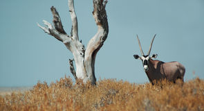 etosha gemsbok στοκ φωτογραφία με δικαίωμα ελεύθερης χρήσης