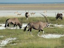 etosha gemsbok nationalpark Στοκ Εικόνες