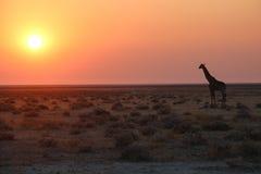 Etosha nationaal park Stock Afbeeldingen