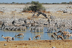 Etosha National Park landscape with pond water Stock Images