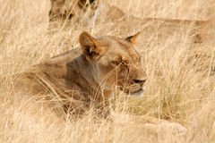Etosha National Park, Namibia Royalty Free Stock Photos