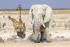 Etosha National Park Stock Image