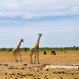 Etosha national reserve, Namibia Royalty Free Stock Photos