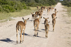 Etosha Nationalpark. Impalas in the Etosh national park in Namibia Royalty Free Stock Photos