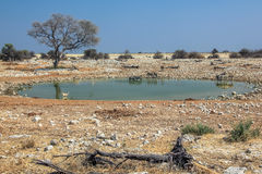 Etosha NP pool Stock Photos