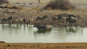Etosha pöl med sebror och oryxantilop lager videofilmer