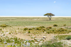 Etosha Pan. With green grass and green acacia tree after the rain in january. Etosha National Park, Namibia Royalty Free Stock Images