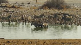 Etosha pool with zebras and oryxes. Zebras and oryxes drinking in Etosha National Park at a water pool in Namibia stock video footage