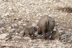 Etosha Rhino Stock Photos