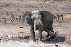 Etosha słonia chełbotanie Obrazy Royalty Free