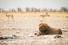 etosha safari Zdjęcia Stock