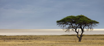 Etosha salt pan. Panorama with acacia tree Royalty Free Stock Image