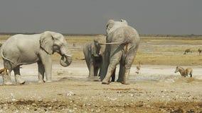 Etosha sebror och elefanter arkivfilmer