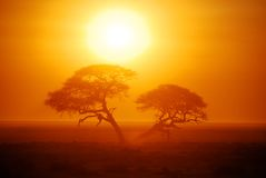 Etosha Sunrise. Camelthorn Tree at sunrise over the Etosha Pan, Namibia Stock Image