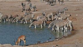 Etosha waterhole - Namibië stock videobeelden