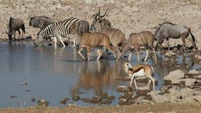 Etosha waterhole - Namibië stock footage