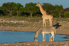 Etosha waterhole, Namibia Stock Photography