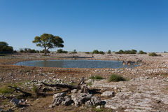Etosha waterhole. Okaukuejo waterhole from Etosha National Park, Namibia Stock Photos