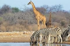 Etosha waterhole Stock Photography