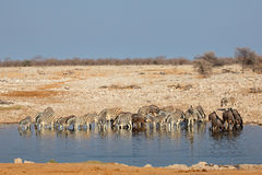 Etosha waterhole Royalty Free Stock Photo