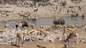 Etosha waterhole stock video footage