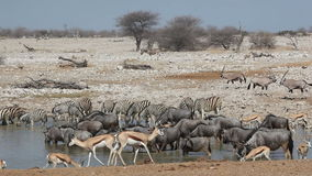 Etosha waterhole stock video