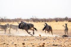 Etosha wildebeests biegać Zdjęcia Royalty Free