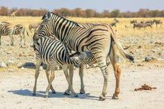 Etosha zebr pielęgnować Fotografia Royalty Free