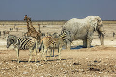 Etosha zebr żyrafy Obrazy Royalty Free