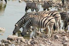 Etosha Zebra Stock Images
