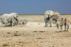 Etosha zebras elephants. Wild animals: zebras elephants drinking at pool in Namibian savannah of Etosha National Park, dry season in Namibia, Africa Royalty Free Stock Photos