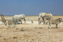 Etosha zebras elephants. Wildlife: zebras elephants giraffes drinking at pool in Namibian savannah of Etosha National Park, dry season in Namibia, Africa Stock Photography