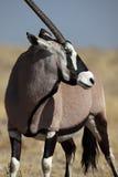 etoshagemsboknamibia np oryxantilop Royaltyfri Fotografi