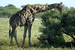 etoshagiraff namibia np arkivfoto