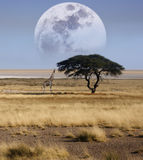 etoshagiraffnamibia nationalpark Arkivfoto