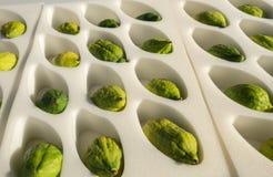 Etrog - is gele sukade of Citrusvruchtenmedica royalty-vrije stock afbeeldingen