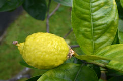 Etrog grow on a tree Stock Photography