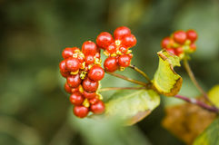 Etruscan Honeysuckle Fruits, Lonicera Etrusca. Red - Orange round berries on a tree in Italy stock photo